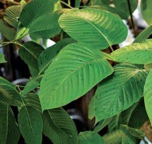 buy kratom leaves