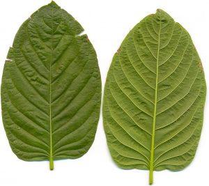 types of kratom vein colors