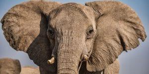 elephant kratom for sale