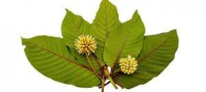 red thai kratom leaves