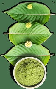 grow kratom leaf