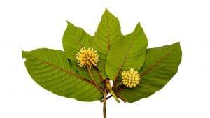 red vein kratom leaves