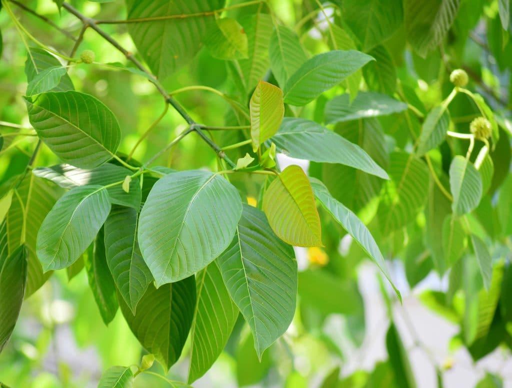 green leaf kratom review online