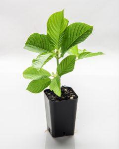 buy green borneo kratom